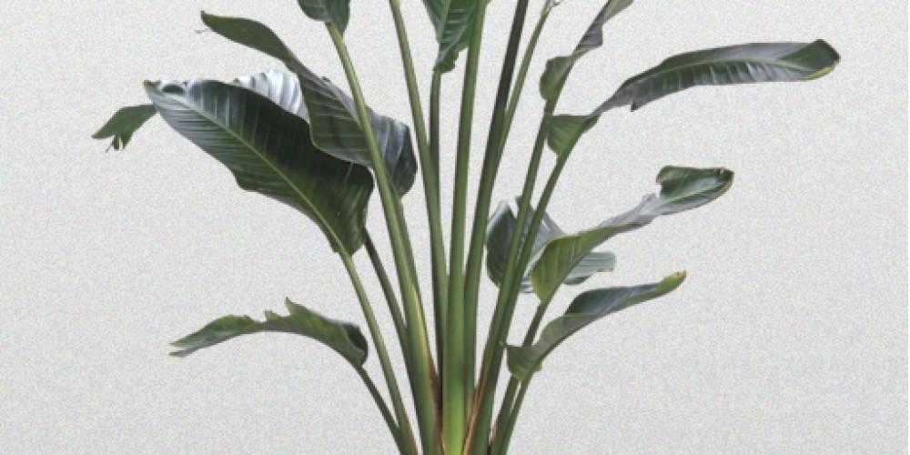Strelitzia Nicolai Superior Plantscapes