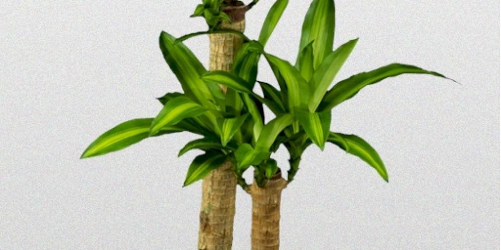 dracaena fragrans massangeana superior plantscapes. Black Bedroom Furniture Sets. Home Design Ideas