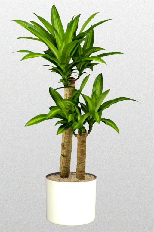 dracaena fragrans massangeana superior plantscapes. Black Bedroom Furniture Sets. Home Design Ideas