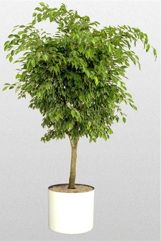 ficus benjamina 39 golden princess 39 superior plantscapes. Black Bedroom Furniture Sets. Home Design Ideas