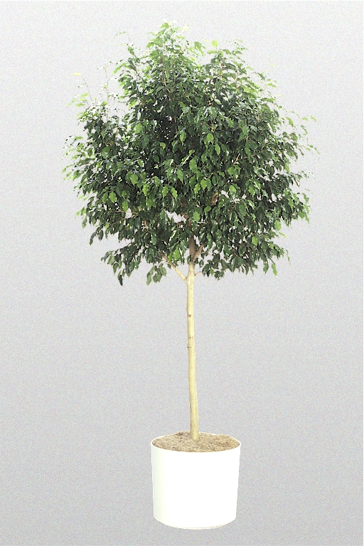 ficus benjamina 39 monique 39 superior plantscapes. Black Bedroom Furniture Sets. Home Design Ideas