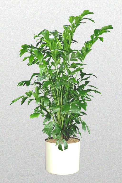 Caryota Mitis - Superior Plantscapes
