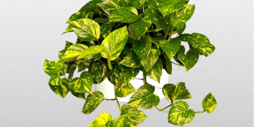 Epipremnum Aureum Golden Pothos Superior Plantscapes