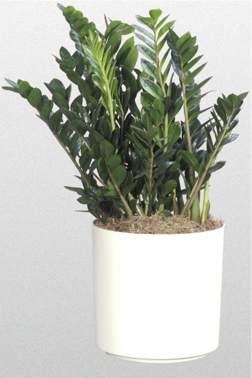 Zamioculcas Zamifolia Superior Plantscapes